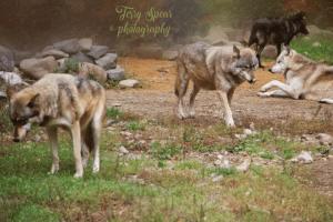 wolf-tongue-bokeh-background-640x427