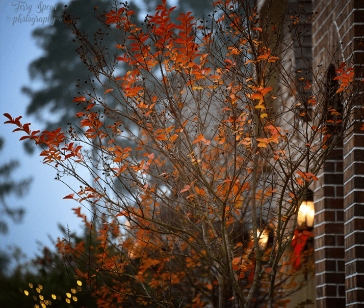 fall-neighbors-lights-crepe-myrtle-900-019