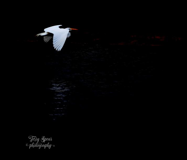 great-white-heron-flying-darken-background-900-067