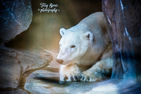 polar-bear-foggy-picture-900-sooc-1205