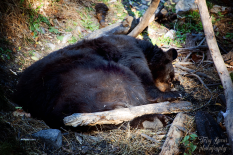 thanksgiving-omaha-black-bear-sleeping-900-185