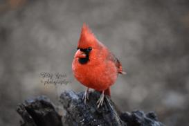 closeup-cardinal-male-900-535