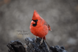 closeup-cardinal-male-900-535