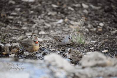 female-cardinal-sparrow-900-992
