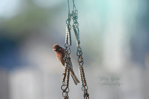 house-finch-on-chain-900-big-lens-035