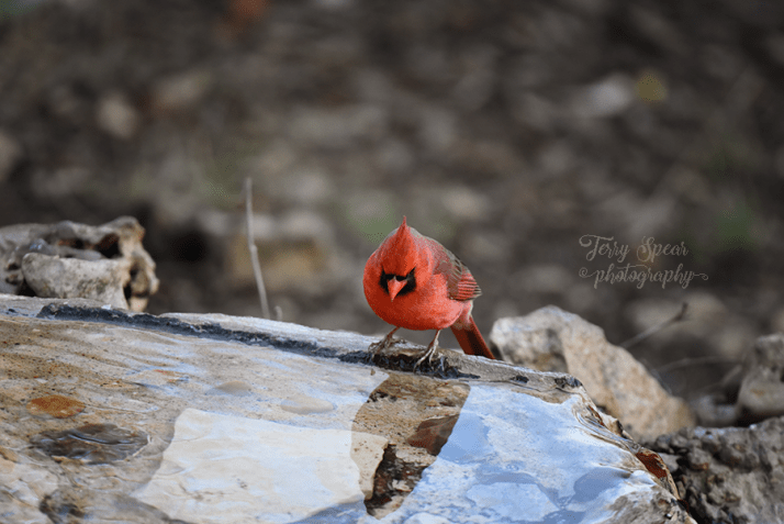 male-cardinal-looking-at-reflection-in-water-900-597