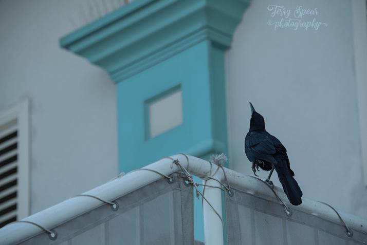 blackbird-looking-up-900-daytona-beach-140