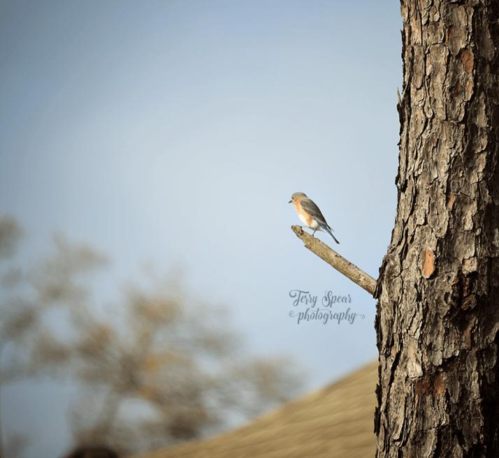 bluebird-female-in-tree-900-063
