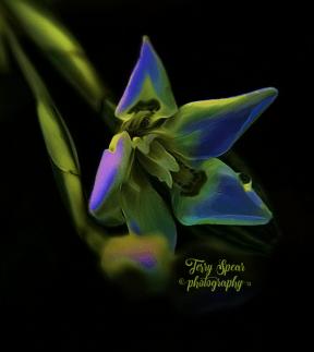 butterfly-iris-flourescent-oil-900-004