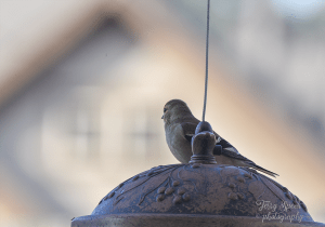 goldfinch-house-frame-in-background-900-031