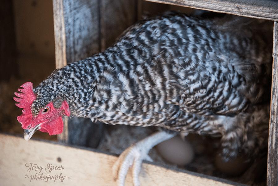 hen-leaving-eggs-900-743