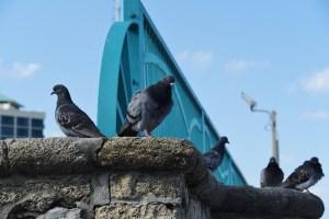 pigeons-800x534