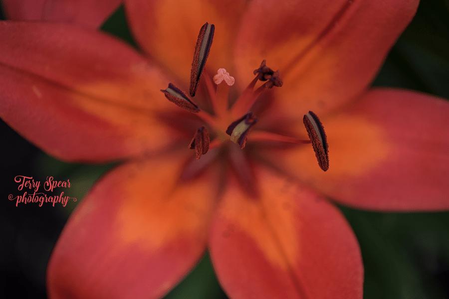 asian lillies close up 900 069