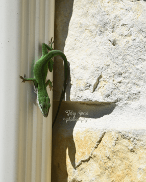 Carolina anole lizard 015