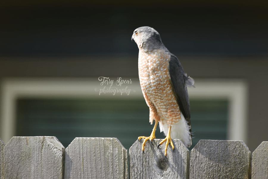 hawk eye in the sunlight 900 287
