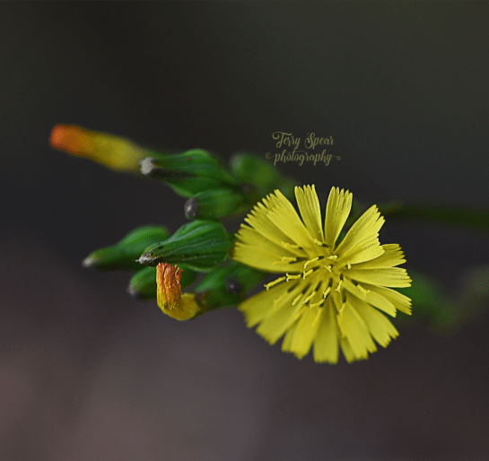 yellow-weed-flower-900_8994