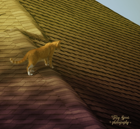 tabby on roof 900 004