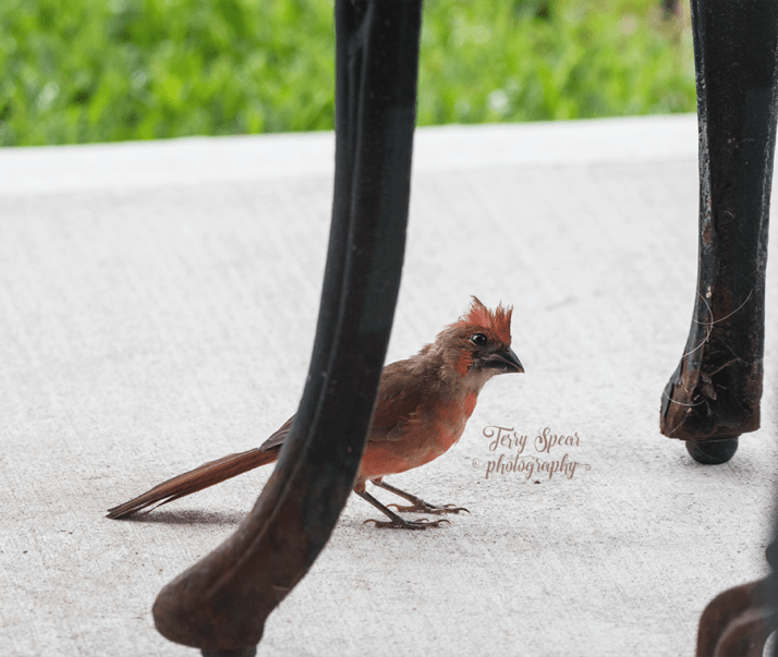 baby cardinal male 900 114