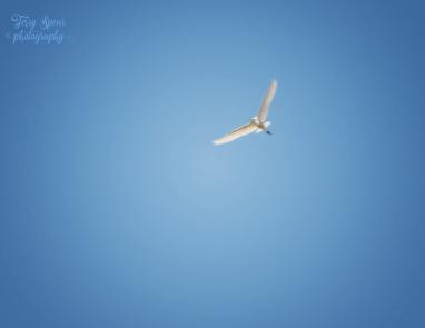 great white heron 900 299