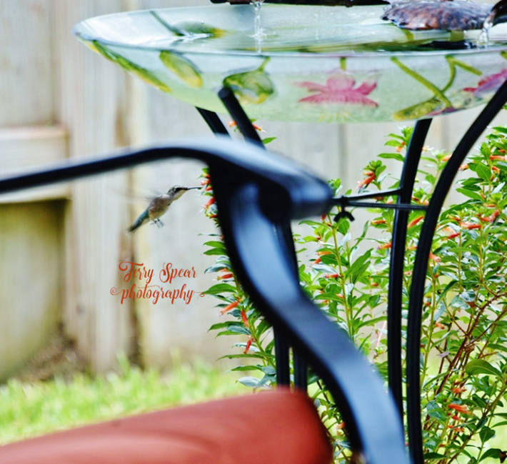hummingbird by firecracker vermillion 001 (800x732)