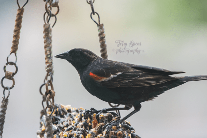 red winged blackbird 900 075