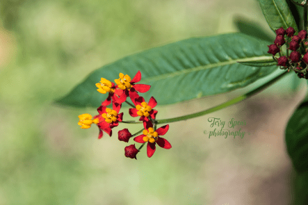 Silky Red Asclepias 900 008