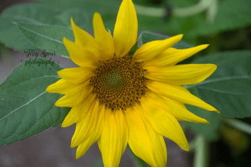 sunflower bent 900 006