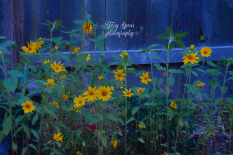 sunflowers blue hour oil 900 010