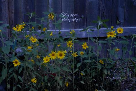 sunflowers blue hour original 900 010