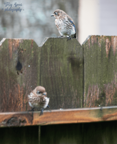 2 juvenile bluebirds 900 060