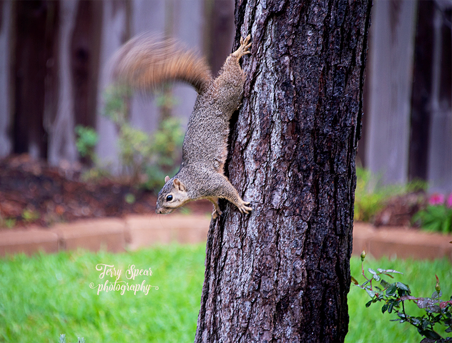 squirrel waving tail on tree 900 037