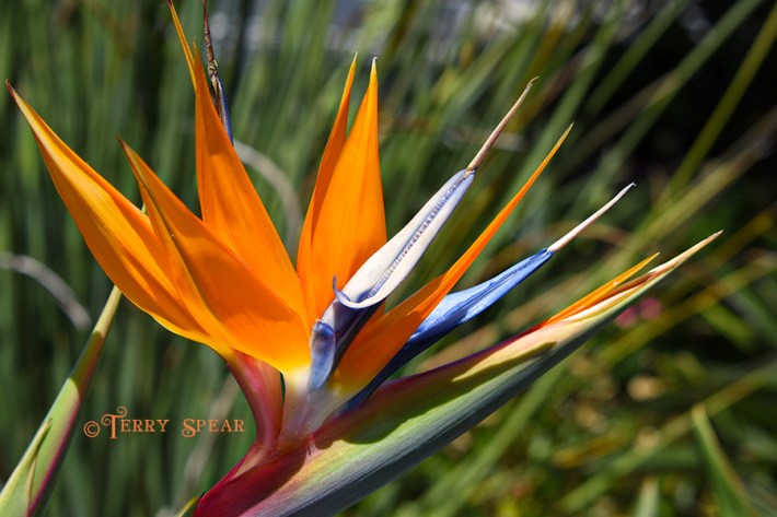 Bird of Paradise 900 San Diego 2702