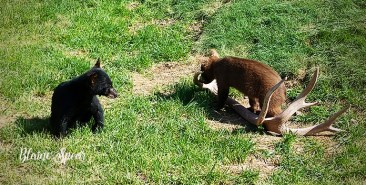 black and brown bear cubs 900