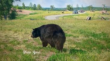 black bear 900