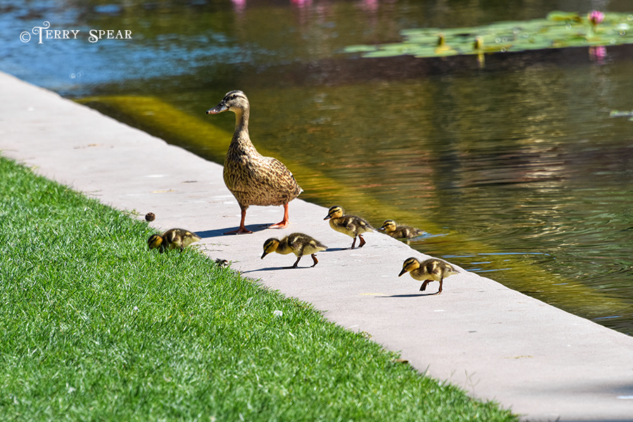 Momma Duck and ducklings 900 San Diego 455