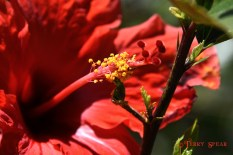 Red hibiscus 900 San Diego 2614