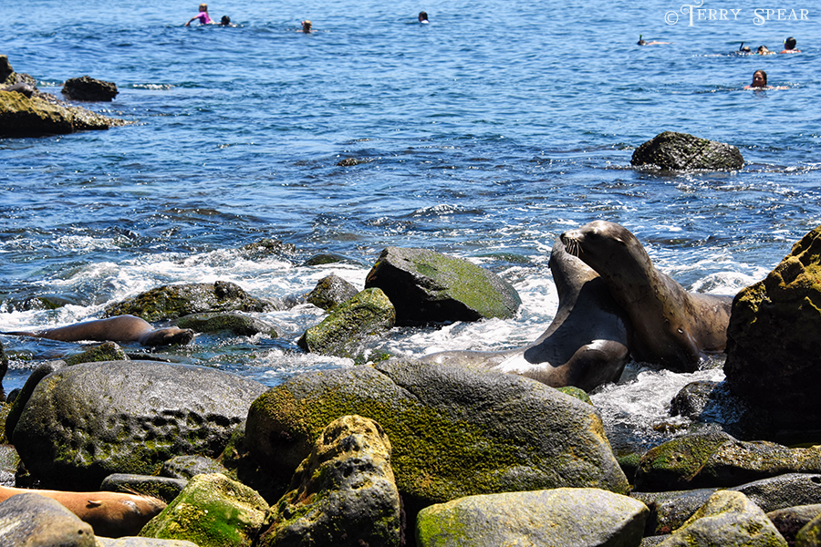 Seals coexisting with people 900 San Diego 4522