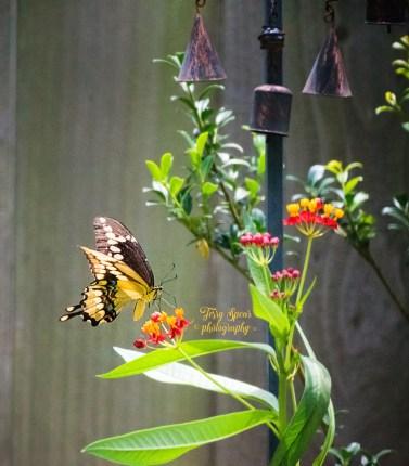 swallowtail butterfly on milkweed 1000 179