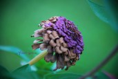 giant purple fading zinnia 900 049