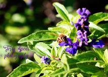 honey bee on purple flowers salvia 900 cropped closer 010