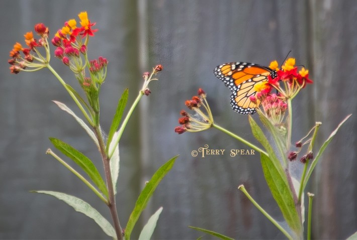 monarch butterfly on milkweed 900 009