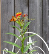 monarch butterfly on milkweed 900 037