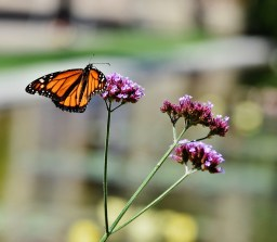monarch butterfly on purple flowers (1280x1119)