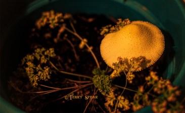 mushroom curly parsley 900 002