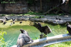 turkey vultures 900 Orlando Disney RWA 2017 2615