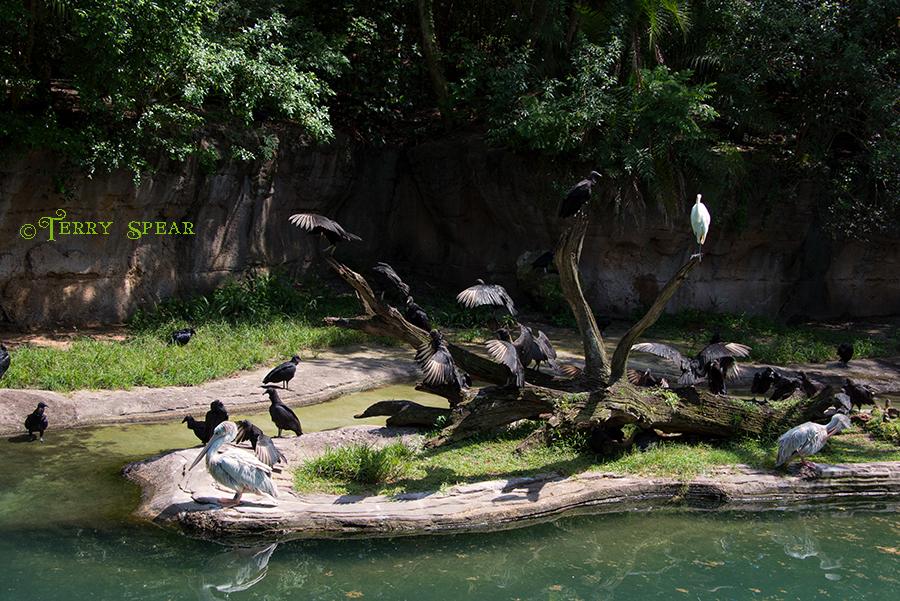 white pelican, commorant, ibis, 900 Orlando Disney RWA 2017 2609
