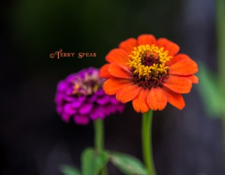 zinnia, orange 900 006