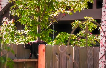 black cat fence