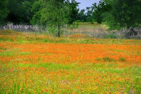 field of indian blanket flowers 003 (640x427)