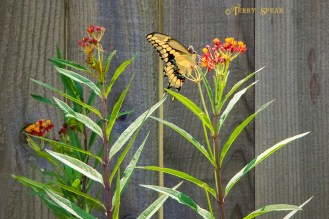 giant swallowtail butterfly 900